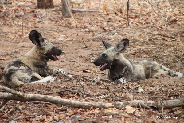 2013-48- December 06b Chobe-2011-298-African Wild Dogs