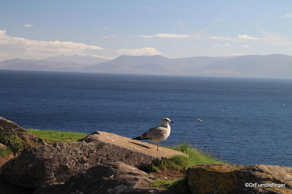 Dingle Peninsula. Seagulls with Slea Head.