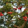 Yala National Park -- Fruiting tree