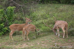 Yala National Park -- Spotted Deer