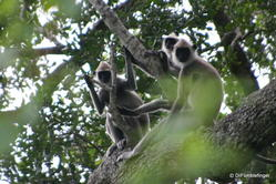 Yala National Park -- Gray Langur monkeys