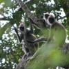 Yala National Park -- Gray Langur monkeys