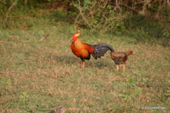 Yala National Park -- Sri Lankan Junglefowl