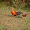 Yala National Park -- Sri Lankan Junglefowl