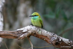 Yala National Park -- Bee eater