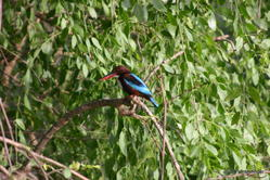 Yala National Park -- Kingfisher
