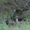 Yala National Park -- Peacocks