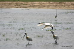 Yala National Park -- Spoonbill