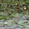 Yala National Park -- Marsh with Lotus blossoms