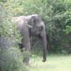 Yala National Park -- Wild Elephant
