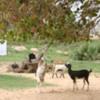 Kirinda -- goat herd chewing branches on tree
