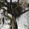 Florida Everglades Big Cypress Bend Boardwalk.  Bald Eagle Nest
