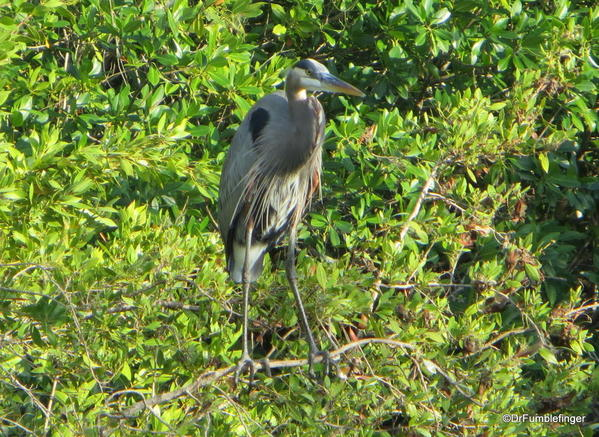 Florida Eveerglades Big Cypress Bend Boardwalk 2013 038 Great Blue Heron