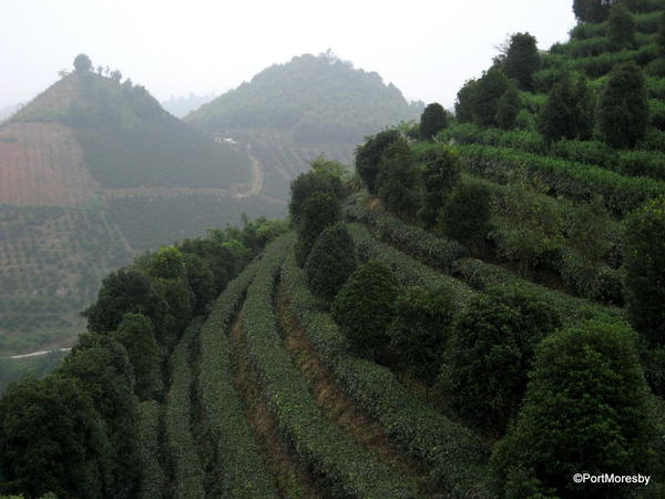 Tea grown in the shade of trees.