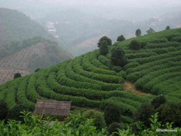 Hillsides of Camellia sinensis.
