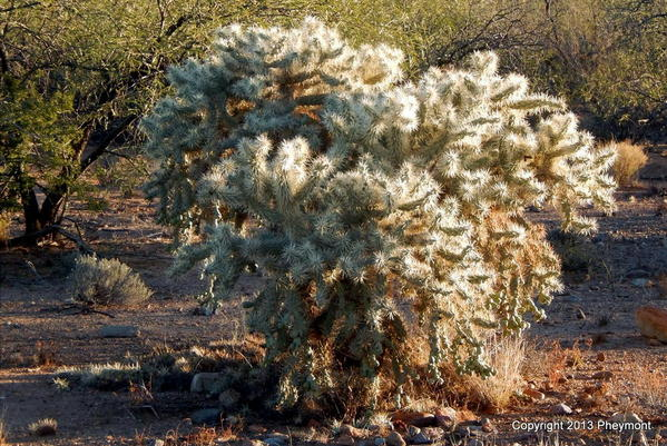 Cholla with 'snow'