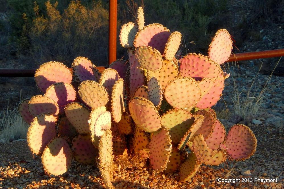 Cactus (Cactaceae) - En Profundidad