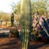 Saguaro, Barrel, saguaro, prickly