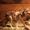 Head-Smashed-In-Buffalo Jump Interpretive Center: Dog pulling his load