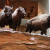 Head-Smashed-In-Buffalo Jump exhibit: Buffalo about to run over a cliff.