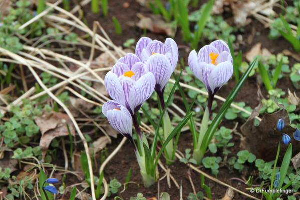 Crocuses coming up in Monticello's back lawn