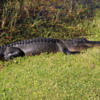 Alligator, Bobcat Trail, Everglades National Park