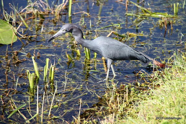 Lesser Blue Heron, Everglades National Park