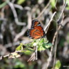 Butterfly, Everglades National Park