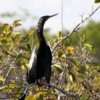 Anhinga, Shark Valley, Everglades National Park