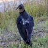 Black Vulture, Shark Valley, Everglades National Park