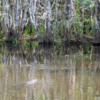 Alligator, Everglades National Park