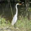 Great Egret, Everglades National Park
