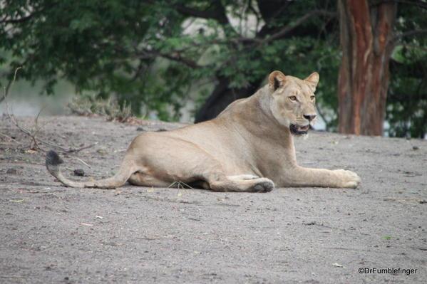 004 Botswana Lion 4