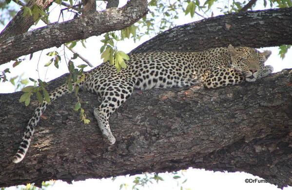 005 Botswana leopard