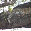 Leopard, Botswana: Sleeping in a tree.  I think she was the most beautiful animal I've ever seen in the wild