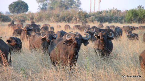 007 Botswana buffalo 1