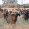 Buffalo, Botswana: We came across this herd of buffalo at dusk.  We were downwind of them and they were aware of us but could not smell us.  The strongest animals come to the front of the herd, forming a defensive ring.