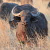 Buffalo, Botswana: This was the largest and strongest of the herd, who kept sniffing, trying to get our scent