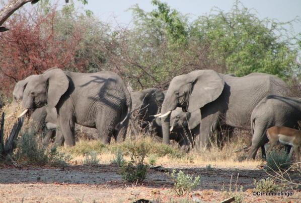 009 Botswana elephant 1