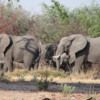 Elephant herd, Botswana: The elephant population is healthy in this country