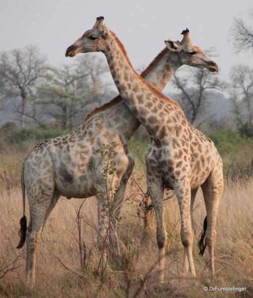 012 Botswana giraffe 2
