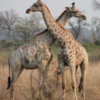 Juvenile giraffes, Botswana: Engaging in a neck slamming contest.  The looser has to leave the tower to go out on his own.