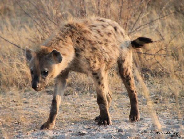 013 Botswana hyaena 2