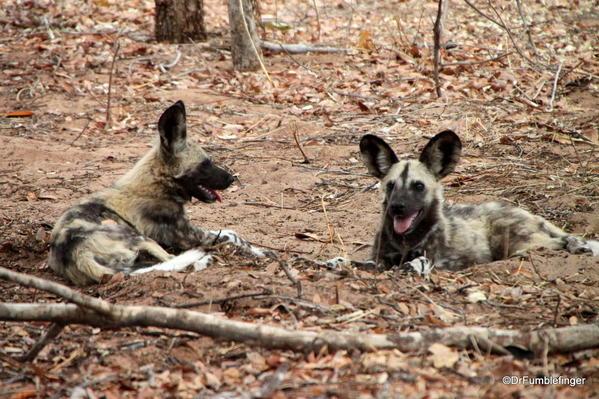 014 Botswana wild dog