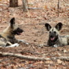 African Wild Dogs, Botswana: Among the rarest animals in the wild