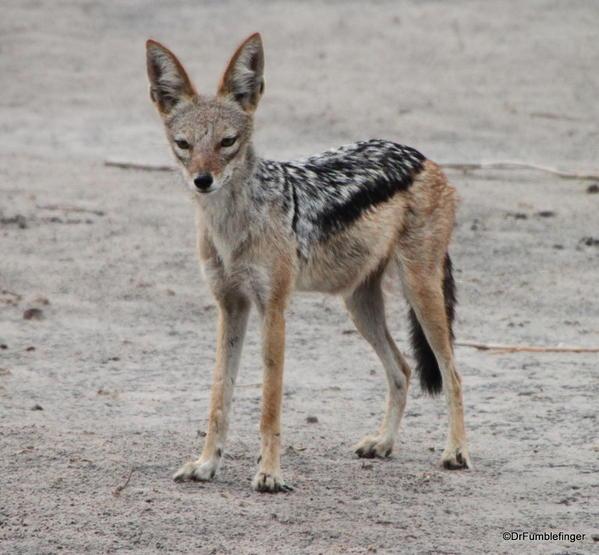015 Botswana hyaena