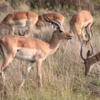 Impala, Botswana: A very common animal and important source of food for predators
