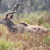 Male kudu, Botswana: Very impressive set of horns