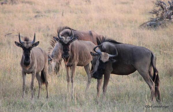 019 Botswana wildebeest