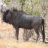 Wildebeest, Botswana
